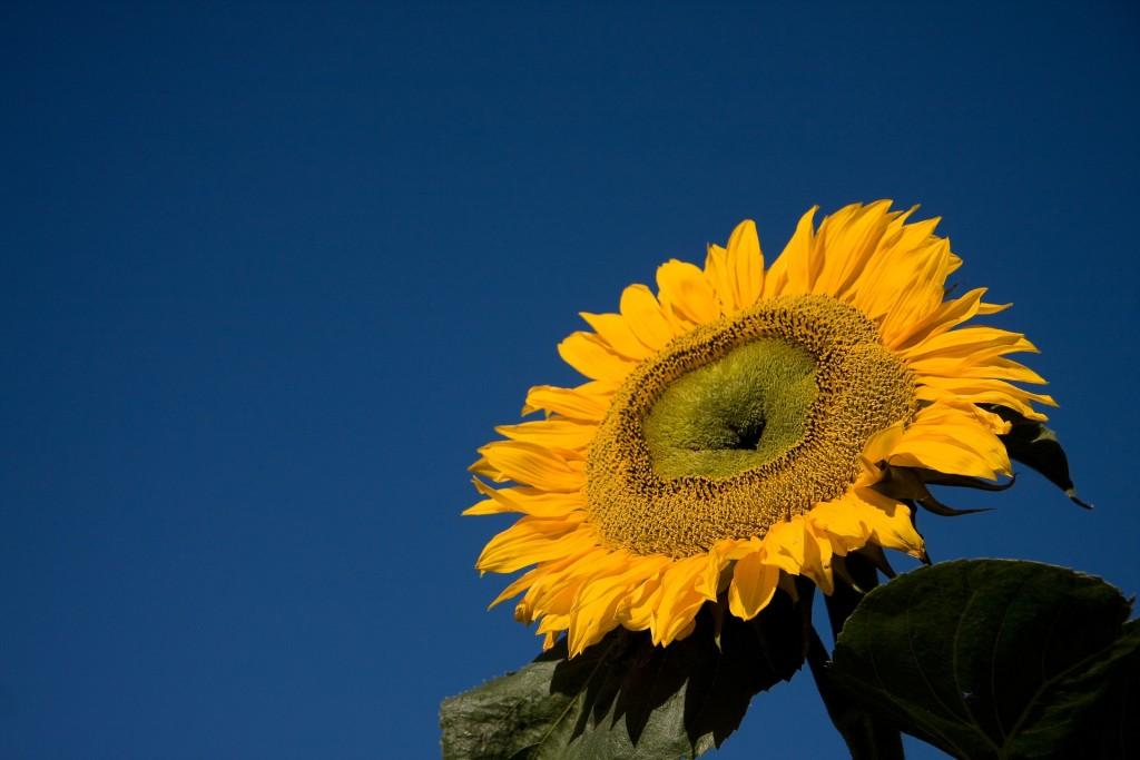 Isabelle gabreau sunflower-932226_1920